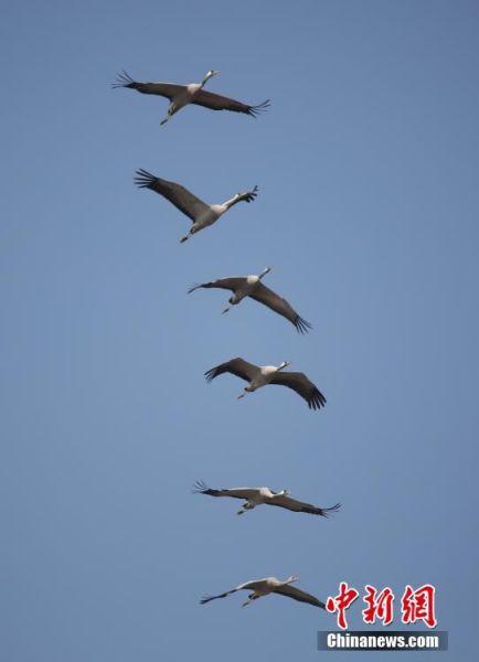 国家二级保护鸟类灰鹤飞抵鄱阳湖越冬