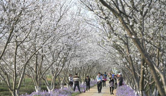 春暖花开之际,江西南昌凤凰沟景区内,清新高洁的玉兰花竞相绽放,吐露芬芳。道路两旁扑面而来的玉兰花开正艳,沿着道路两旁的便是万亩茶园。此时园内五颜六色的玉兰花配早春的绿茶满满的都是春天的味道,这是春天里凤凰沟不可错过的一道风景线。  除此外,目前正值景区郁金香盛放期,大地被装扮得五彩缤纷,黄色,粉色,紫的,在蓝天白云映衬下,此景美不胜收,构成一幅迷人画卷。如同一首淡雅别致的田园诗,吸引踏春游人纷至沓来,共同欣赏这春天的盎然美景。  当然,这么美的景,最大的主角还是园区的樱花,又是一年樱花烂漫时,绽放枝头的