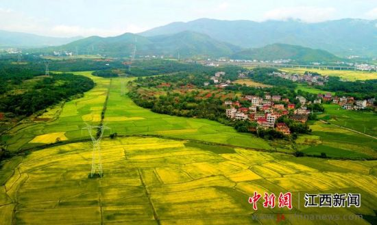 航拍南昌水稻成熟 金色稻田描绘丰收画卷