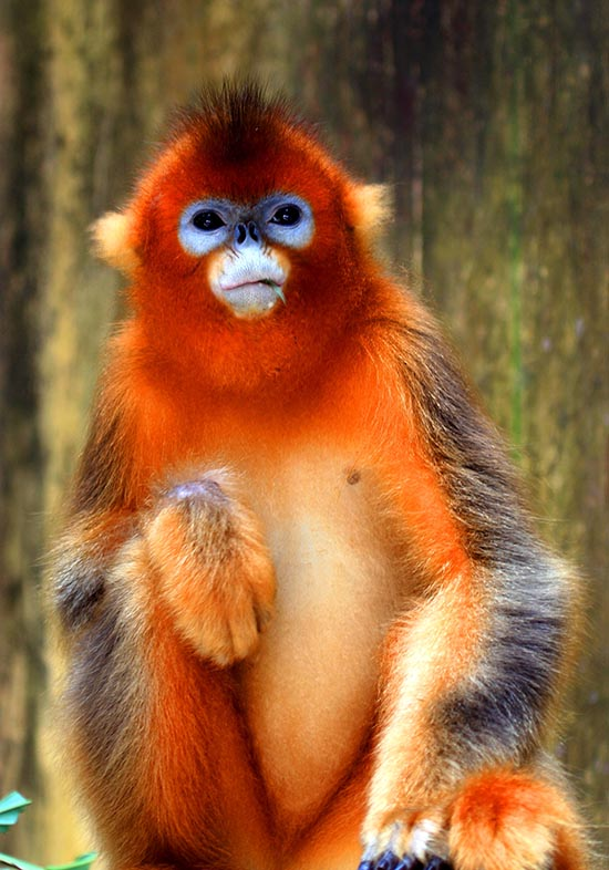 川金丝猴.南昌市动物园供图